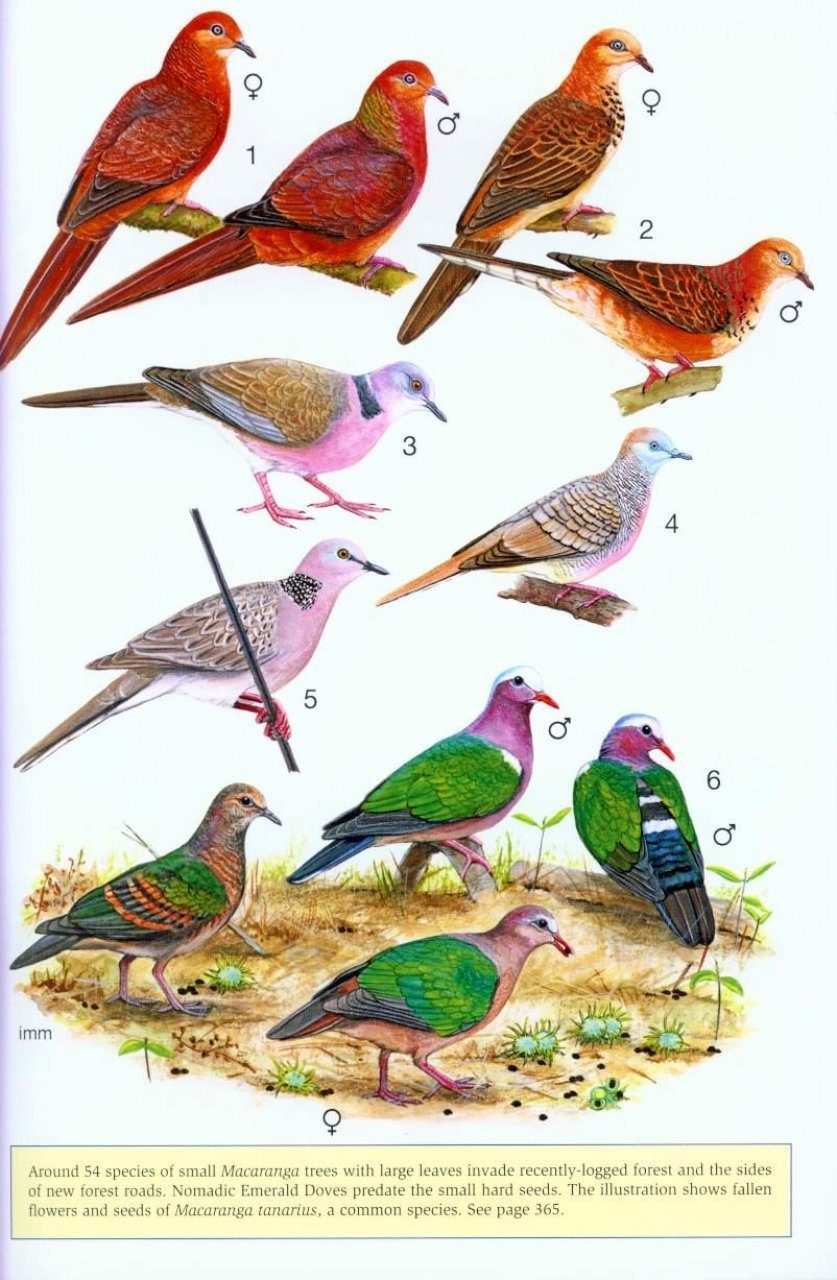 a field guide to the birds of borneo